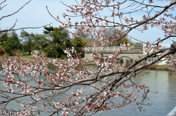 Cherry Blossoms on Potomac River.png